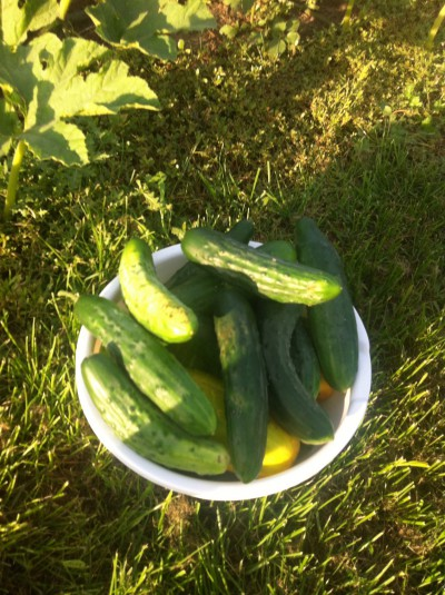 Cucumbers galore.