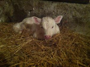 Oh the cuteness of the fuzzy baby bull calf!